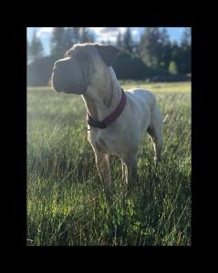 Basset hound/Shar Pei stud Listing Image