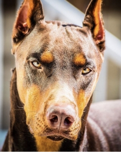 Beautiful Doberman Listing Image