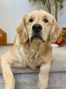 Male Golden Retriever Listing Image