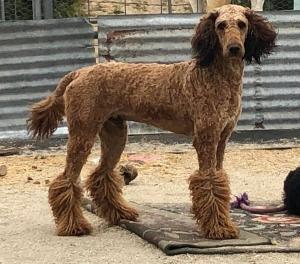 Akc standard poodle stud  Listing Image