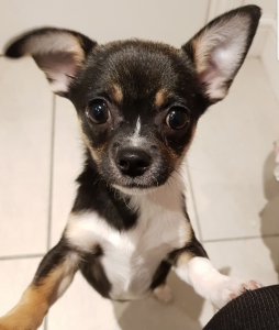 Beautiful chihuahua Listing Image