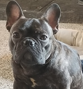 French bulldog stud service  Listing Image