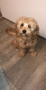 Goldendoodle Stud Dogs Available Now - Breed Your Dog