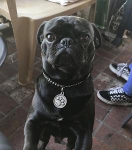 Black Pug Listing Image