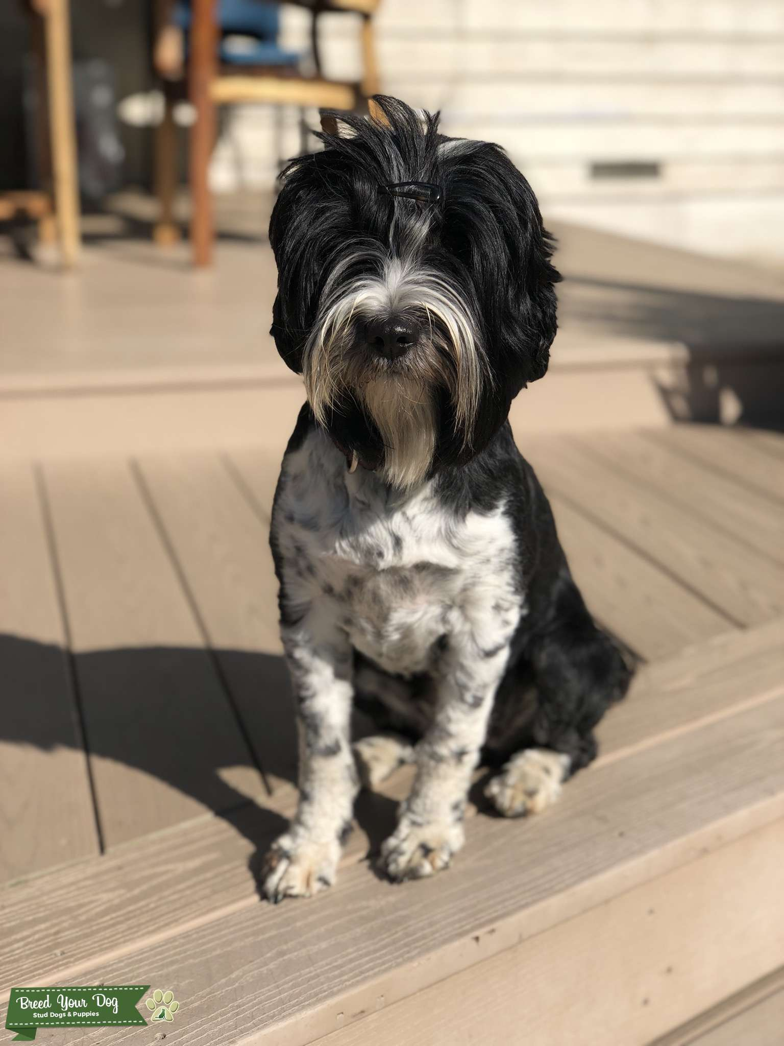 Tibetan Terrier bitch is looking for stud dog Listing Image Big