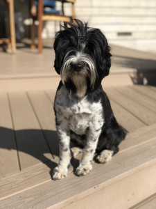Tibetan Terrier bitch is looking for stud dog Listing Image