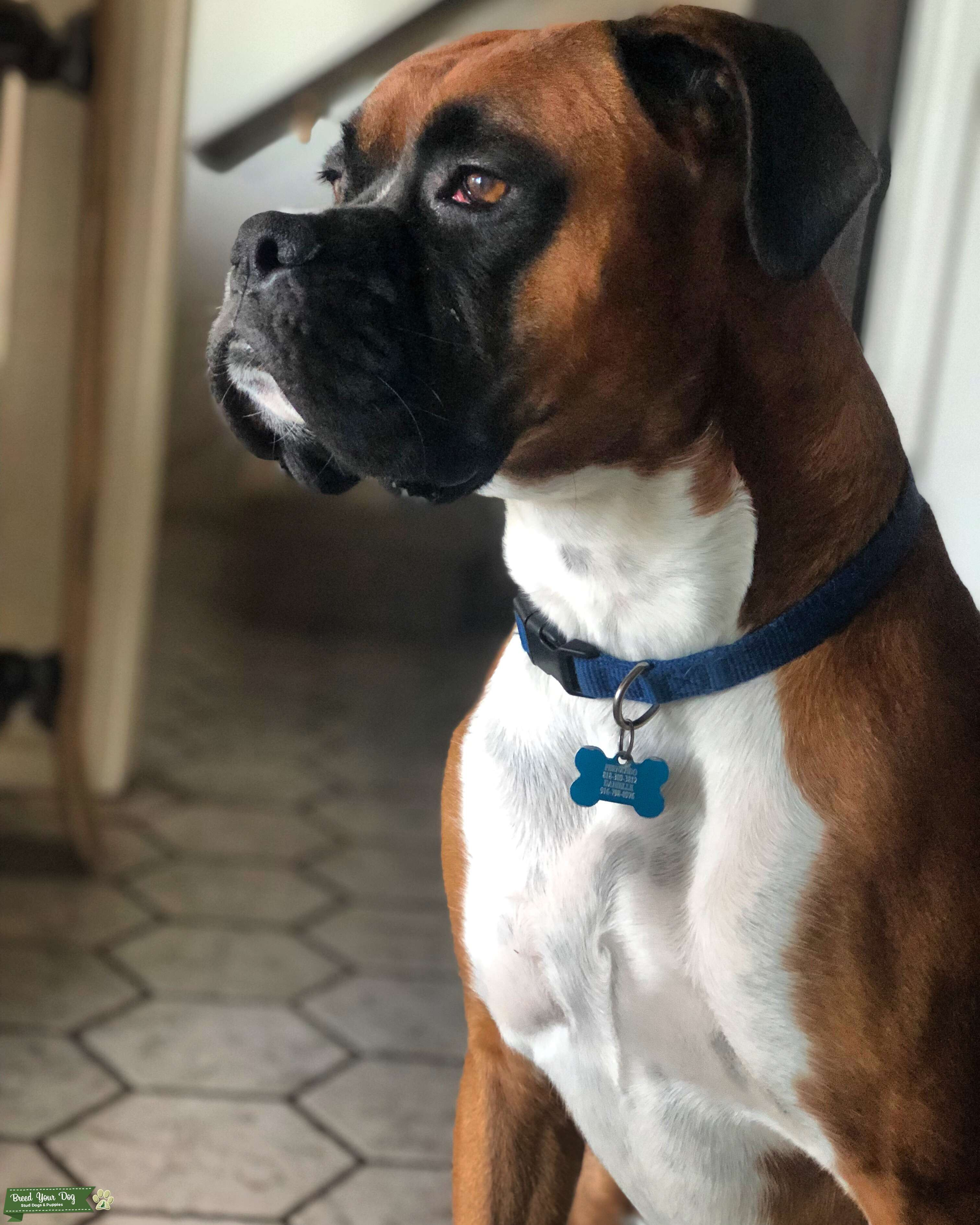 Muscular Boxer Available for Stud Listing Image Big