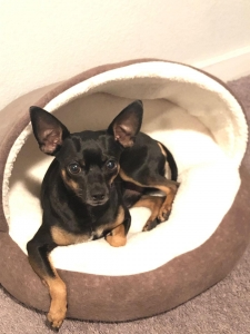 Cute Mini Miniture pinscher looking for a female dog Listing Image