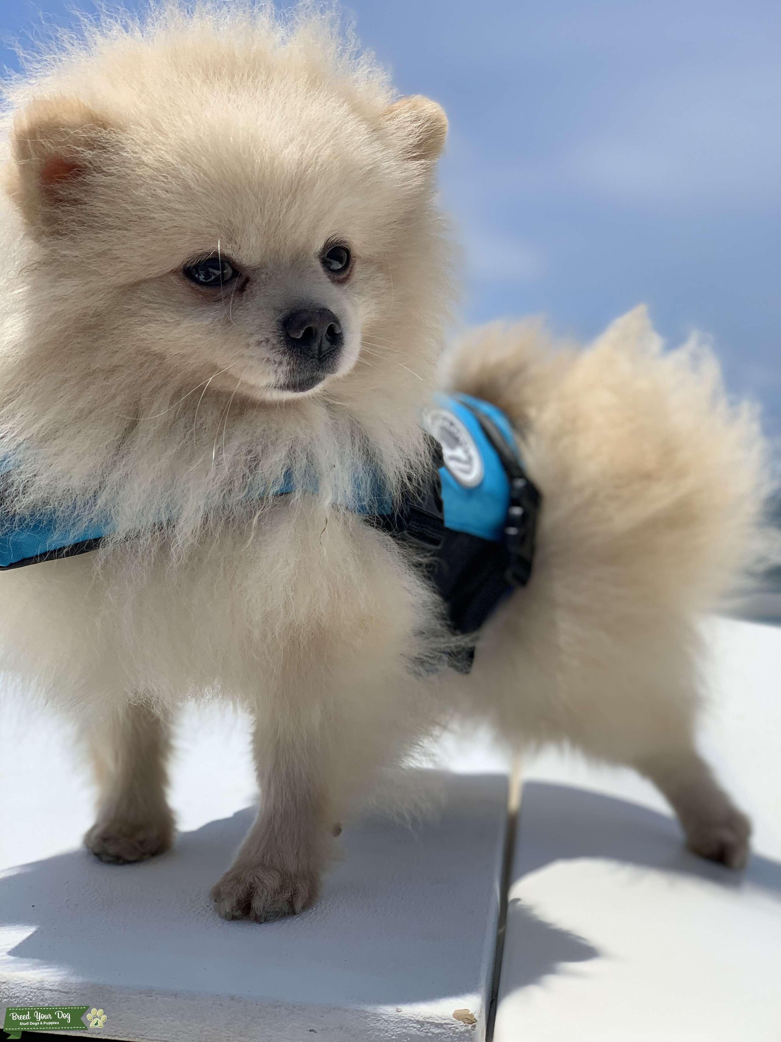 AKC Cream Pomeranian  Listing Image Big