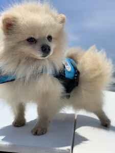 AKC Cream Pomeranian  Listing Image