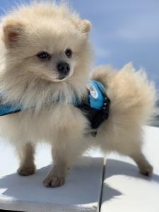 AKC Cream Pomeranian  Listing Image Thumbnail