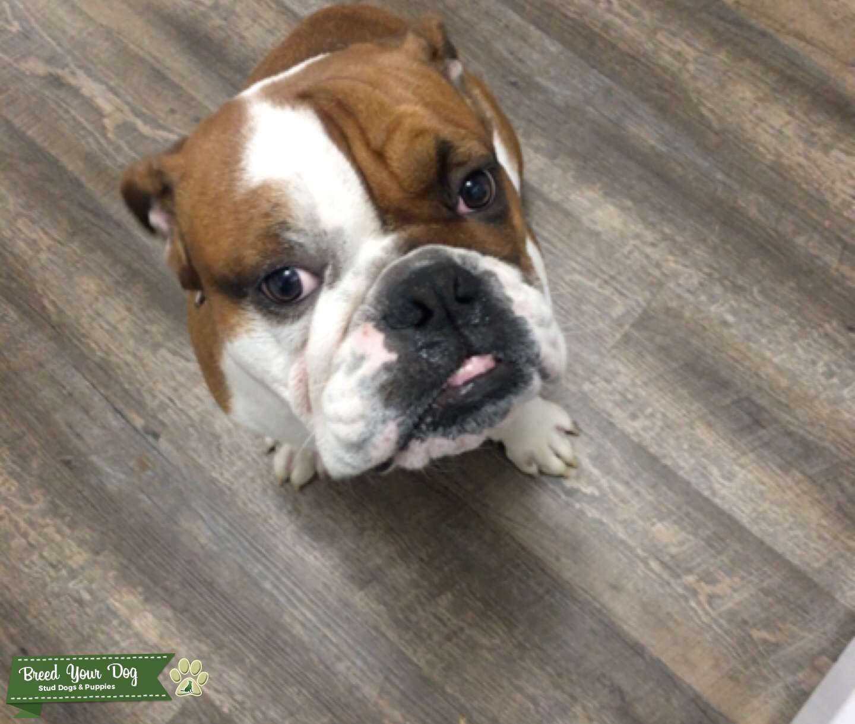English Bulldog looking to breed Listing Image Big