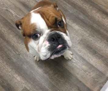 English Bulldog looking to breed Listing Image