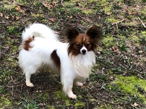 Papillon Stud AKC AKC Pointed Listing Image