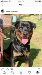 3 year old Rottweiler Stud   Listing Image