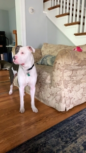 Stud dog looking for female  Listing Image