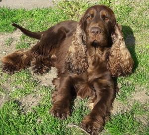 RARE KC SHOW CHOCOLATE AND TAN PRA/FN CLEAR STUD DOG  Listing Image