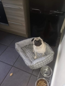 Pug Stud Dogs Available Now - Breed Your Dog