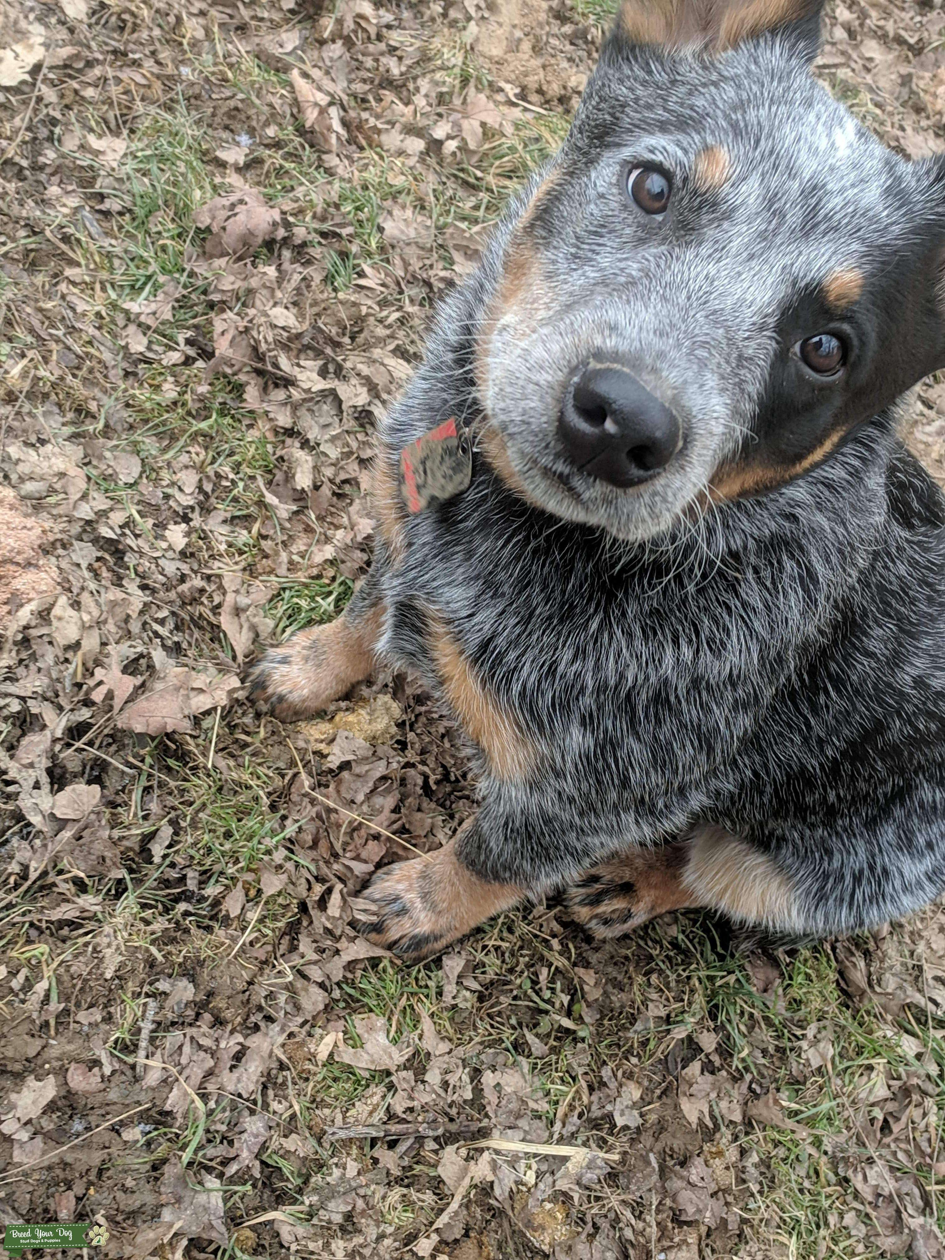 Blue Australian Cattle Dog Listing Image Big