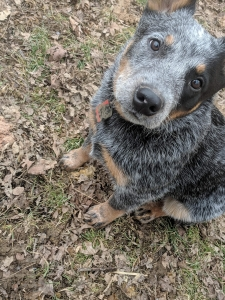 Blue Australian Cattle Dog Listing Image