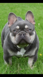 French Bulldog Stud Dogs Available Now - Breed Your Dog