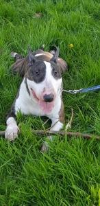 Brindle & white English bull terrier  Listing Image