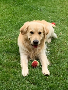 Golden Retriever Stud Dogs Available Now - Breed Your Dog