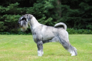 Standard Schnauzer Stud Available Listing Image