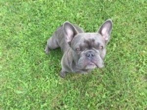 Purebred Blue Frenchie Listing Image