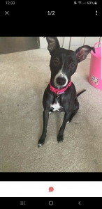 Black female staffy x whippet ready to breed Listing Image