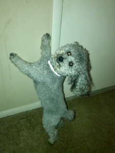 Beautiful Toy Poodle Stud  Listing Image