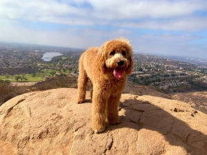 Goldendoodle looking for Girlfriend Listing Image