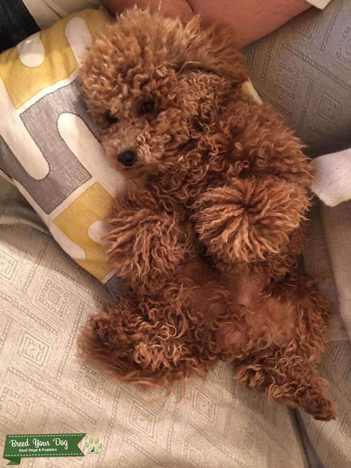 Beautiful apricot toy poodle stud Listing Image Big