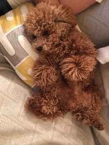 Beautiful apricot toy poodle stud Listing Image