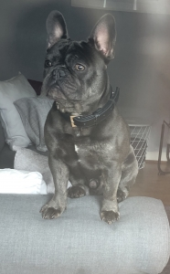 French bulldog for stud  Listing Image Thumbnail