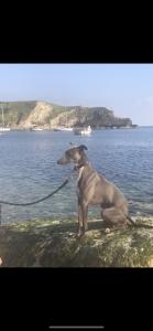 Whippet stud dog  Listing Image