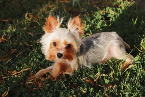 Teacup Yorkie Terrier (Gray, white, tan) Listing Image