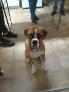 Handsome Male Fawn Boxer Listing Image Thumbnail