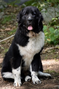 Handsome Newfie in the City Listing Image