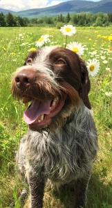 Wirehaired Pointing Griffon Listing Image