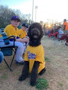 Standard Poodle Stud Service Listing Image