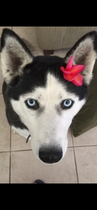 Looking for male husky Listing Image