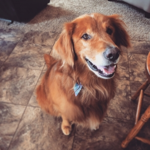 Dark Red Golden Retriever Listing Image