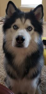 Looking for female pedigree siberian husky Listing Image