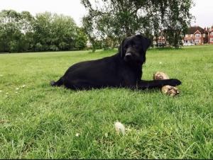 Beautiful female black Labrador  Listing Image