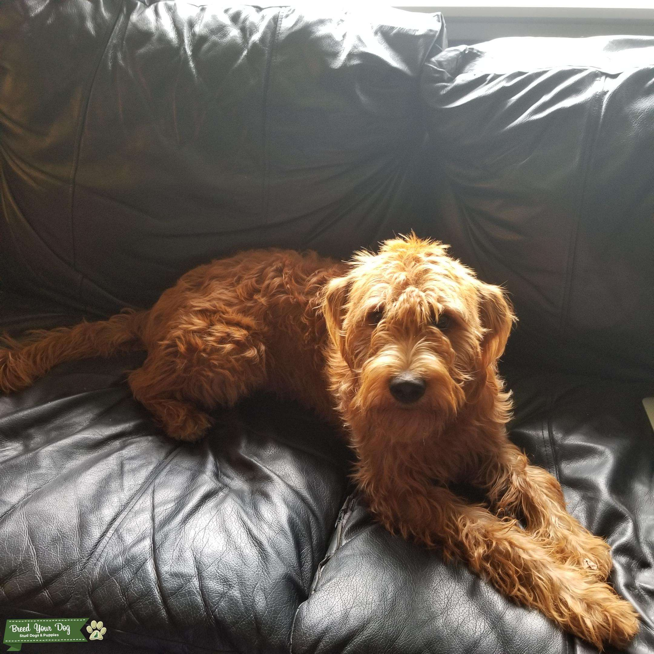 F1 Copper Labradoodle  Listing Image Big