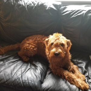 F1 Copper Labradoodle  Listing Image