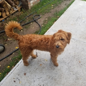 F1 Copper Labradoodle  Listing Image Thumbnail