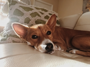 Beautiful Red Female Basenji Listing Image