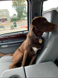 Stud dog ready for breeding Listing Image